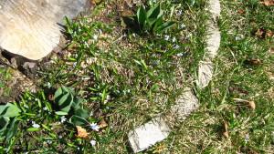 APRIL 2015 BLUE FLOWERS